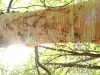 birch-tree-1